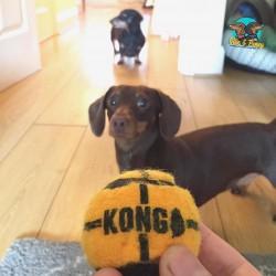 Throw the ball hooman!
